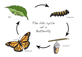 lifecycle-of-butterfly_metamorphosis